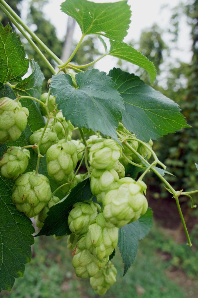 Fuggles hops, Hamptons estate, Farnham, Surrey